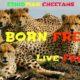 Cheetahs30. Almariam